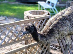 emu jest na spacerze