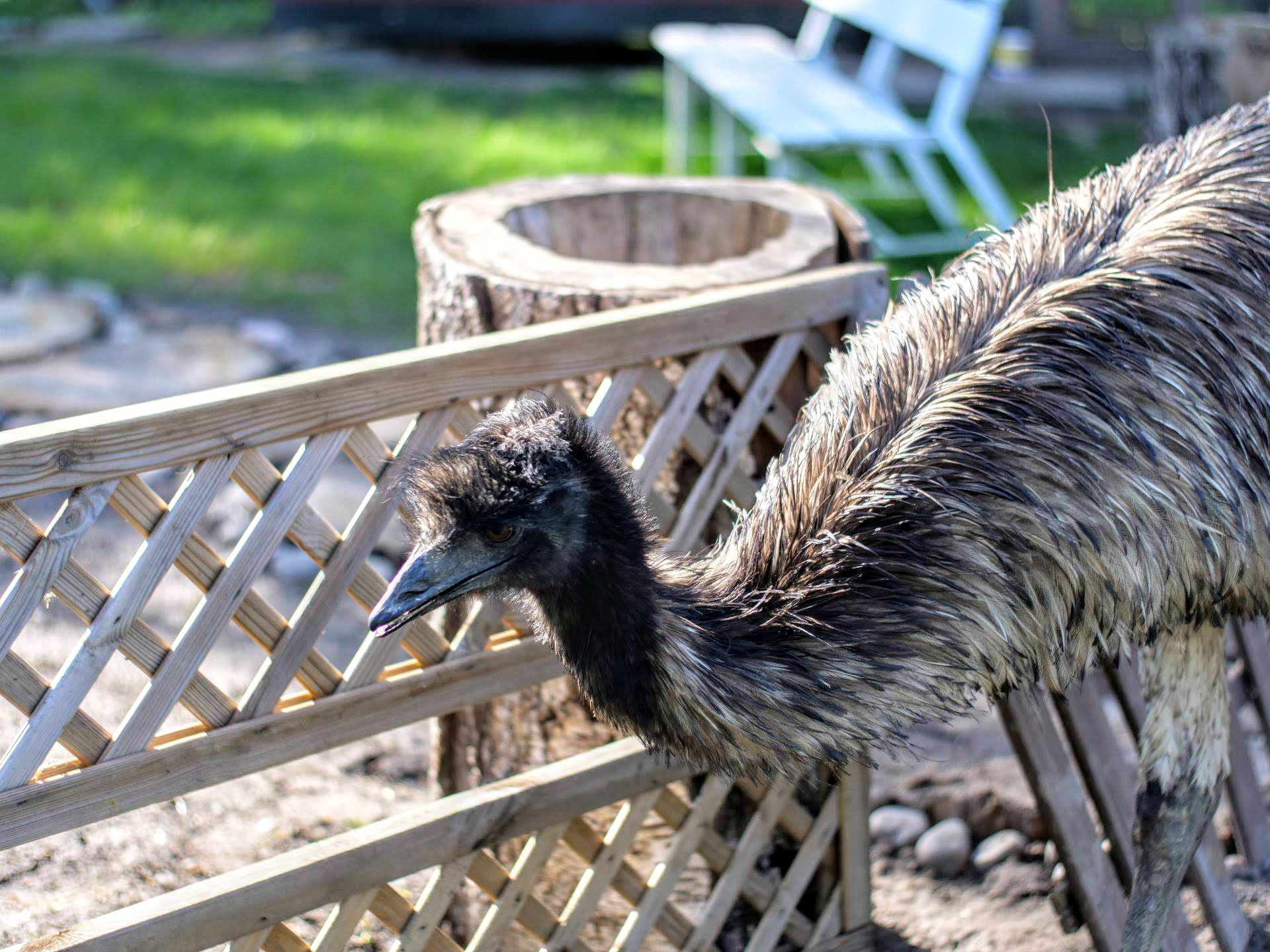 11 Interesujących Ciekawostek o Emu