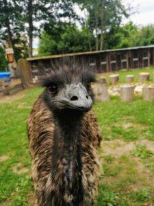 głowa emu