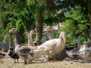 kaczki i gęś