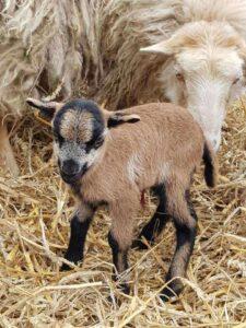 mała kózka i owca