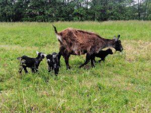 koza i dzieci